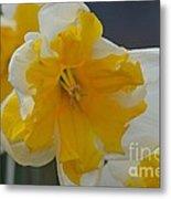 Narcissus 014-1 Metal Print