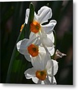 Narcissus Evening Glow Metal Print