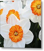 Narcissus Parkdene #2 Metal Print