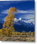 Narrowleaf Cottonwoods Fall Color Teton Metal Print