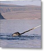 Narwhal Surfacing Baffin Isl Canada Metal Print