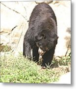 National Zoo - Bear - 12123 Metal Print by DC Photographer