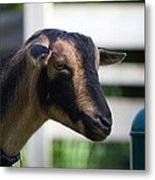 National Zoo - Goat - 01132 Metal Print