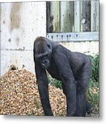 National Zoo - Gorilla - 121242 Metal Print by DC Photographer