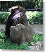 National Zoo - Lion - 011314 Metal Print