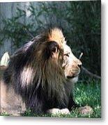National Zoo - Lion - 011318 Metal Print