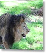 National Zoo - Lion - 01136 Metal Print by DC Photographer