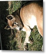National Zoo - Mammal - 12124 Metal Print by DC Photographer