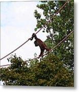 National Zoo - Orangutan - 01135 Metal Print