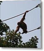 National Zoo - Orangutan - 12122 Metal Print by DC Photographer