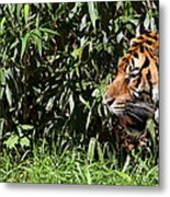 National Zoo - Tiger - 011312 Metal Print