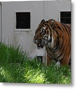 National Zoo - Tiger - 011323 Metal Print