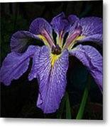 Native Louisiana Iris Metal Print