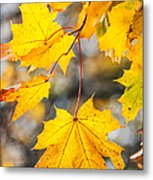 Natural Patchwork. Golden Mable Leaves Metal Print