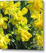 Naturalized Daffodils On The Farm Metal Print