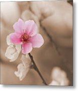 Nectarine Flower Blooming Metal Print
