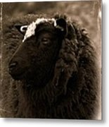 Nellah The Shetland Sheep  Metal Print