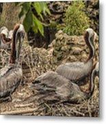 Nesting Brown Pelicans Metal Print