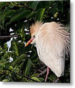 Nesting Cattle Egret Metal Print