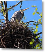 Nesting Great Blue Heron Metal Print
