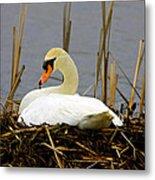 Nesting Swan Metal Print