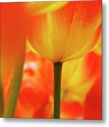 Netherlands, Macro Of Colorful Tulip Metal Print
