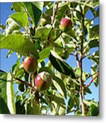 New Apples Metal Print