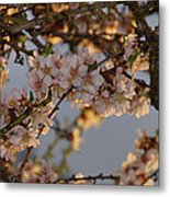 New Blossoms - Old Almond Tree Metal Print