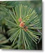 New Blue Spruce Buds Metal Print