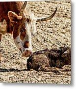New Born Cow Calf Metal Print