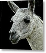 New Photographic Art Print For Sale   Portrait Of  Llama Against Black Metal Print