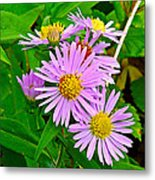New York Asters In Flower's Cove-newfoundland Metal Print