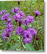 New York Ironweed Wildflower - Vernonia Noveboracensis Metal Print