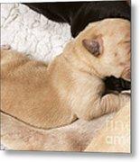 Newborn Labrador Puppy Suckling Metal Print