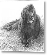 Newfoundland Dog Pencil Portrait Metal Print