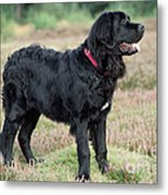 Newfoundland Dog, Standing In Field Metal Print