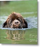 Newfoundland Dog, Swimming In River Metal Print