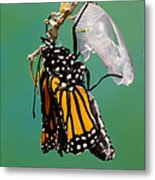 Newly-emerged Monarch Butterfly Metal Print