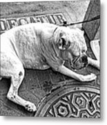 Newsworthy Dog In French Quarter Black And White Metal Print