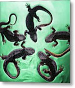 Newts  Pleurodelinae  On The Surface Metal Print
