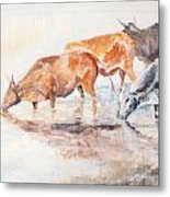 Nguni Cattle Metal Print by David  Hawkins