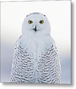 Nh Seacoast Snowy Owl  Metal Print