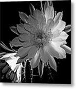 Nightblooming Cereus Cactus Flower Metal Print
