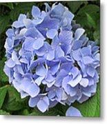 Nikko Blue Hydrangea Metal Print