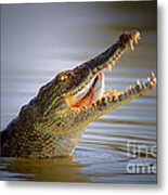 Nile Crocodile Swollowing Fish Metal Print
