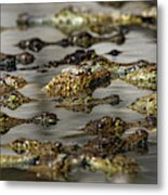 Nile Crocodiles Crocodylus Niloticus Metal Print