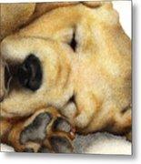 Nipper Nap... Metal Print by Will Bullas