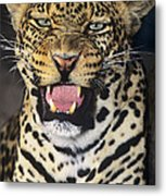 No Solicitors African Leopard Endangered Species Wildlife Rescue Metal Print