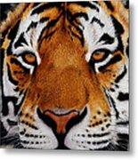 Nobility   Amur   Siberian  Tiger Metal Print