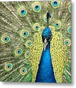 Noble Peacock Metal Print